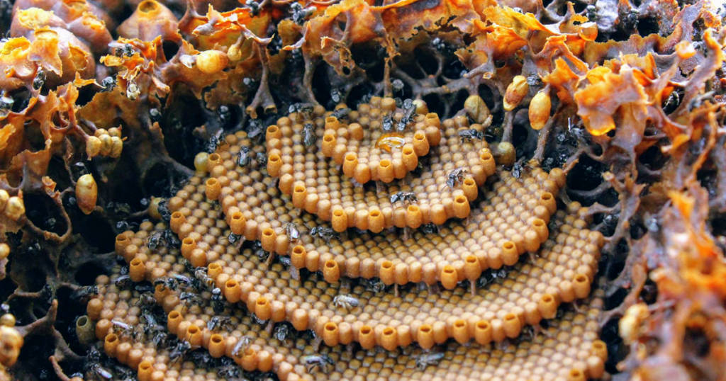 Stingless Bees brood section in spiral design